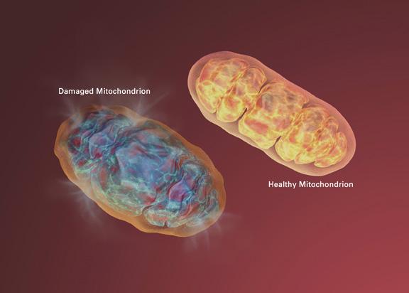 左为受损的线粒体,右为健康的线粒体   National Institute on Aging
