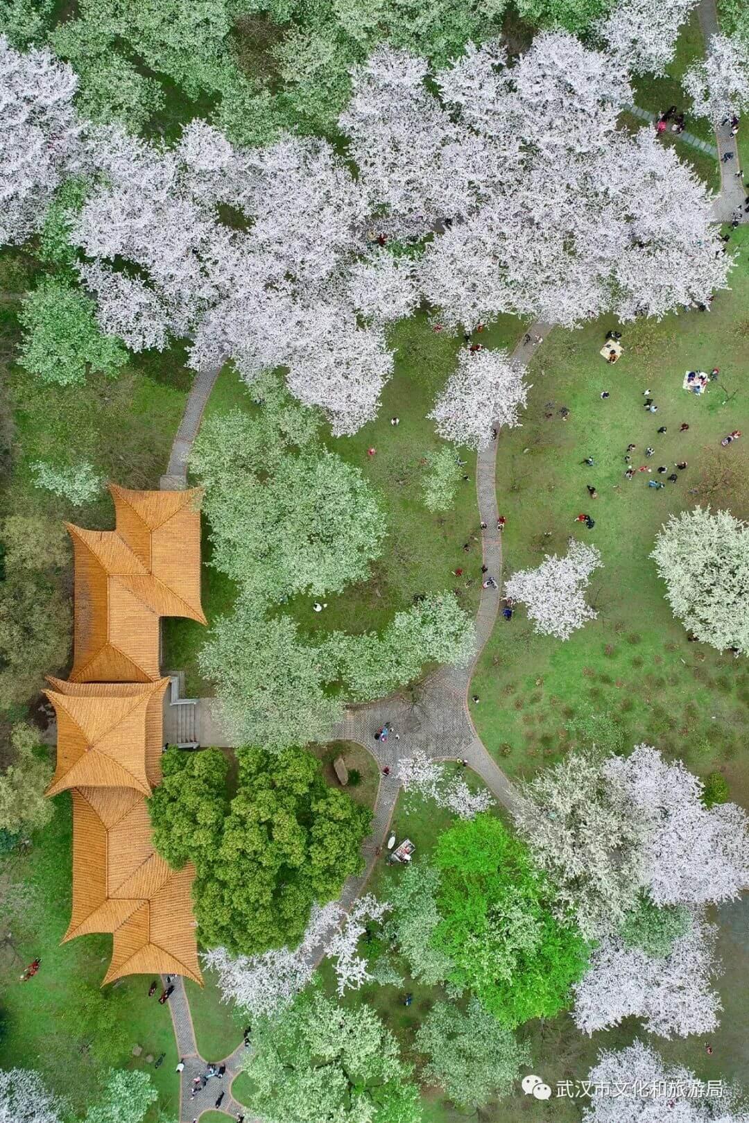 还在跑遍武汉追樱花,这份武汉赏樱地图送给你-5