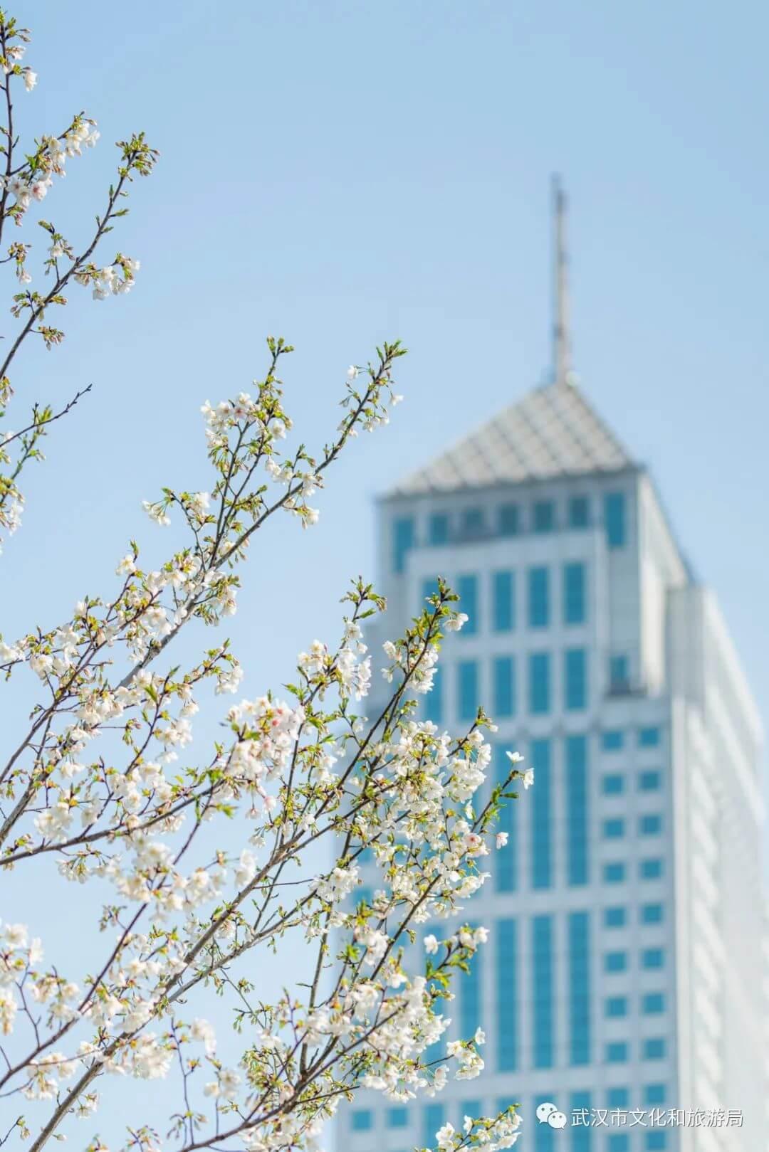 还在跑遍武汉追樱花,这份武汉赏樱地图送给你-7