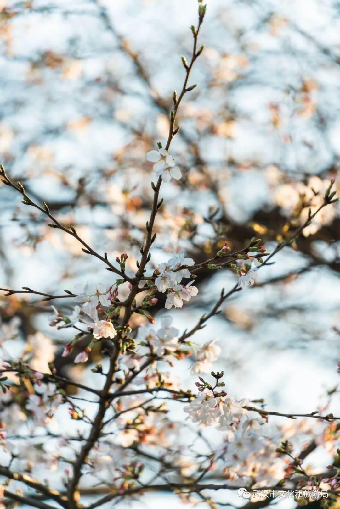 还在跑遍武汉追樱花,这份武汉赏樱地图送给你-9