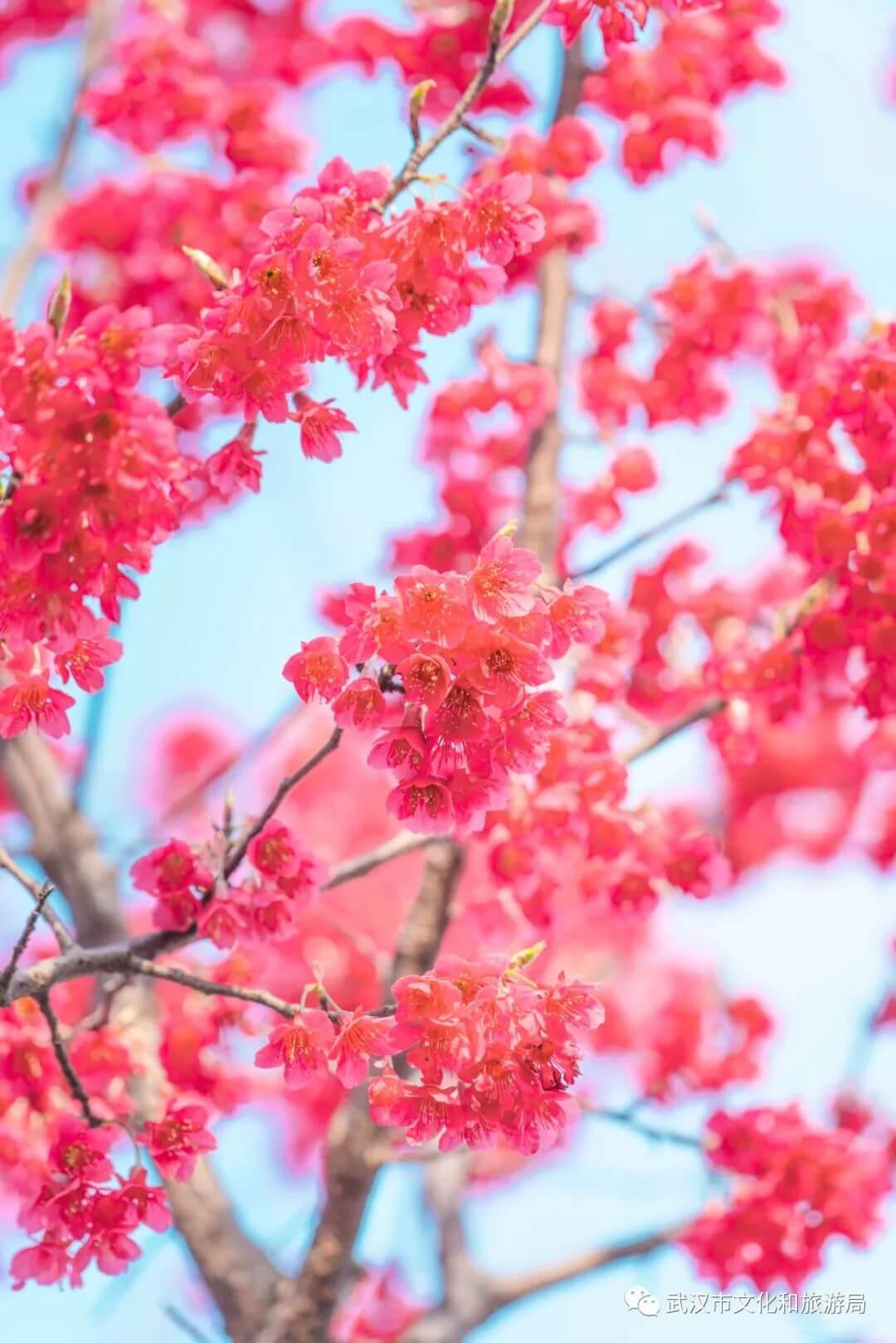 还在跑遍武汉追樱花,这份武汉赏樱地图送给你-10