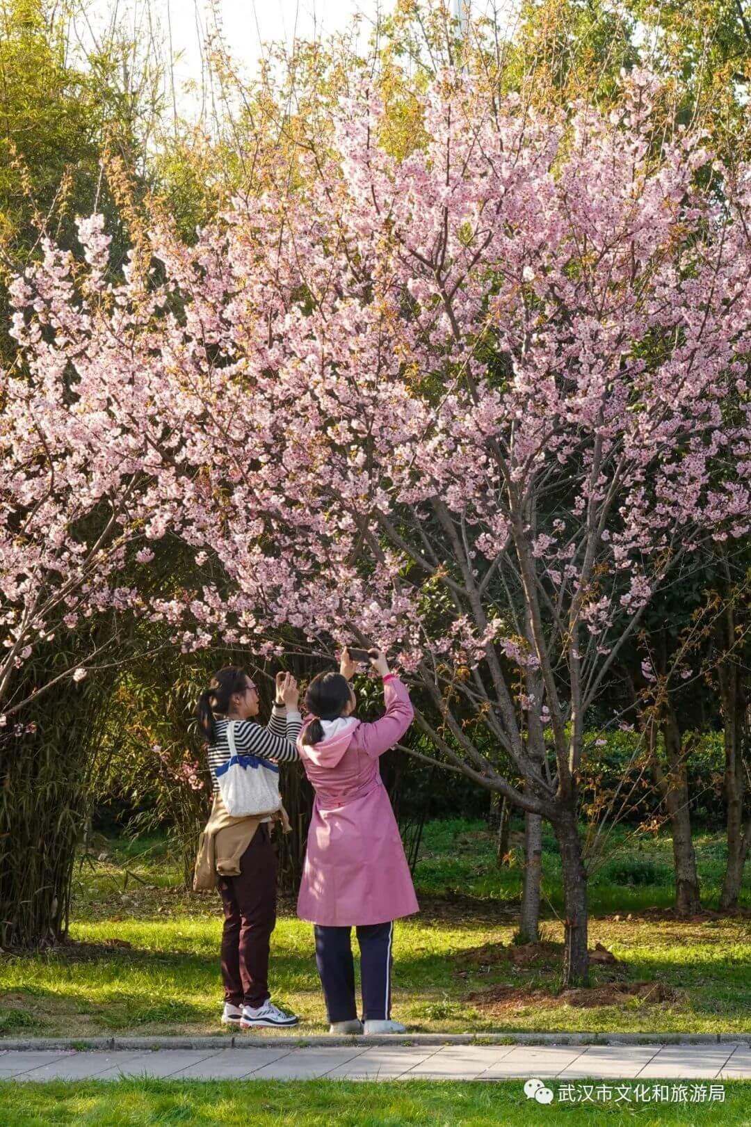 还在跑遍武汉追樱花,这份武汉赏樱地图送给你-12