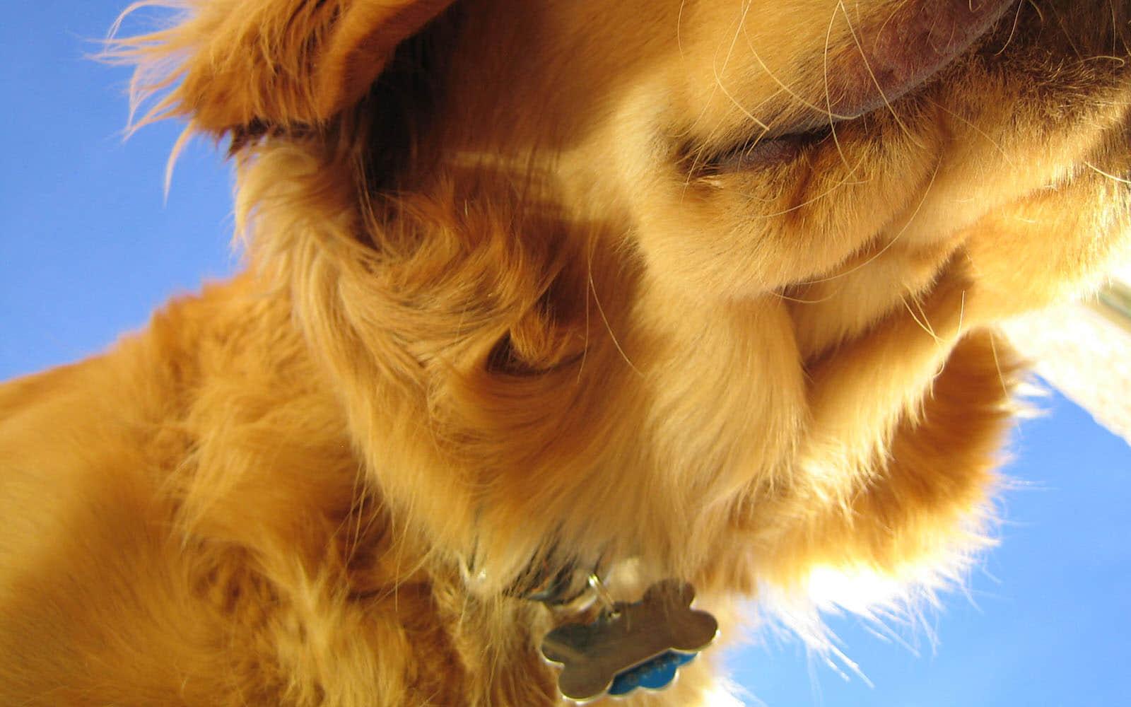 一只金毛犬的特写高清壁纸