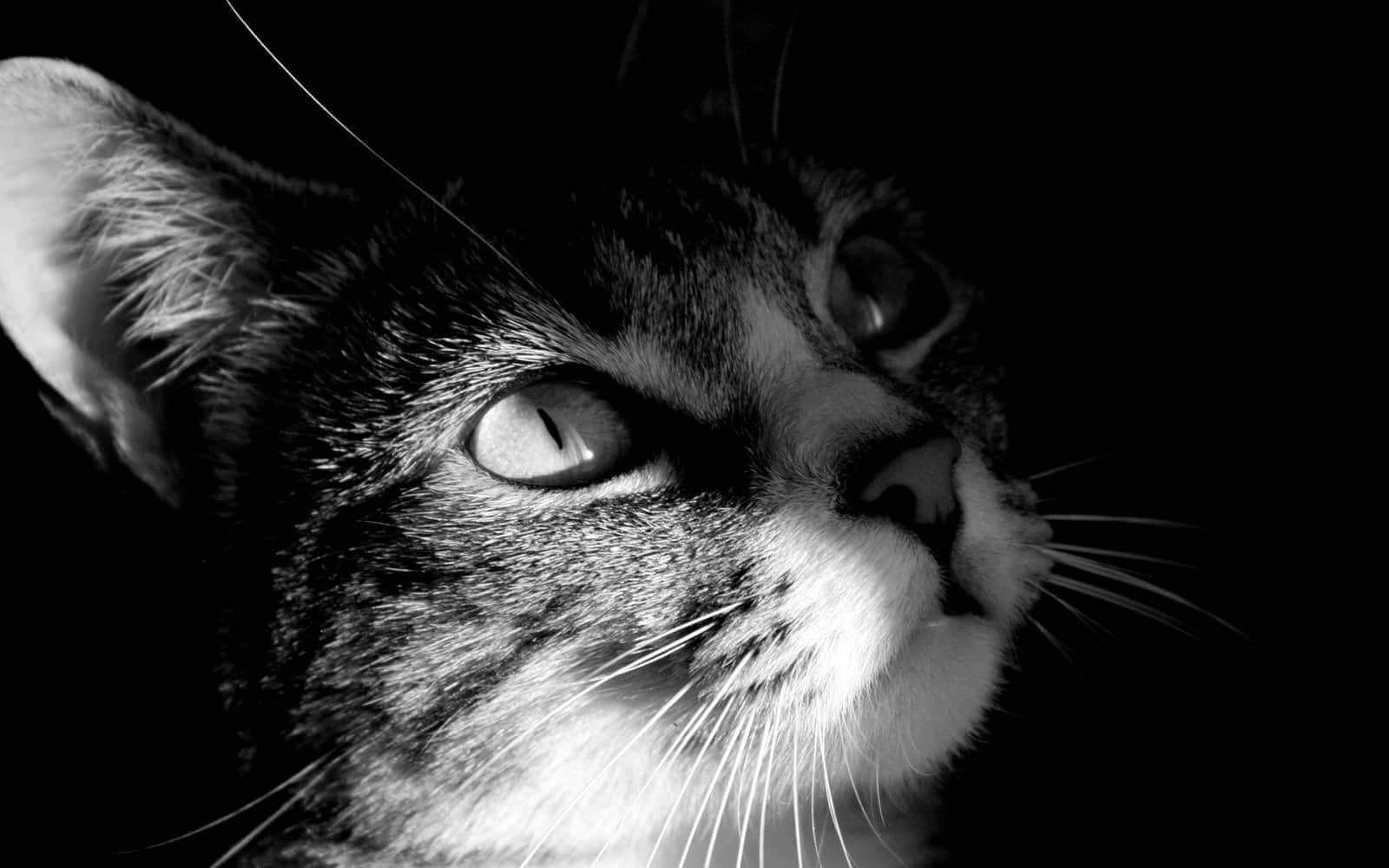 猫 Celestine高清壁纸