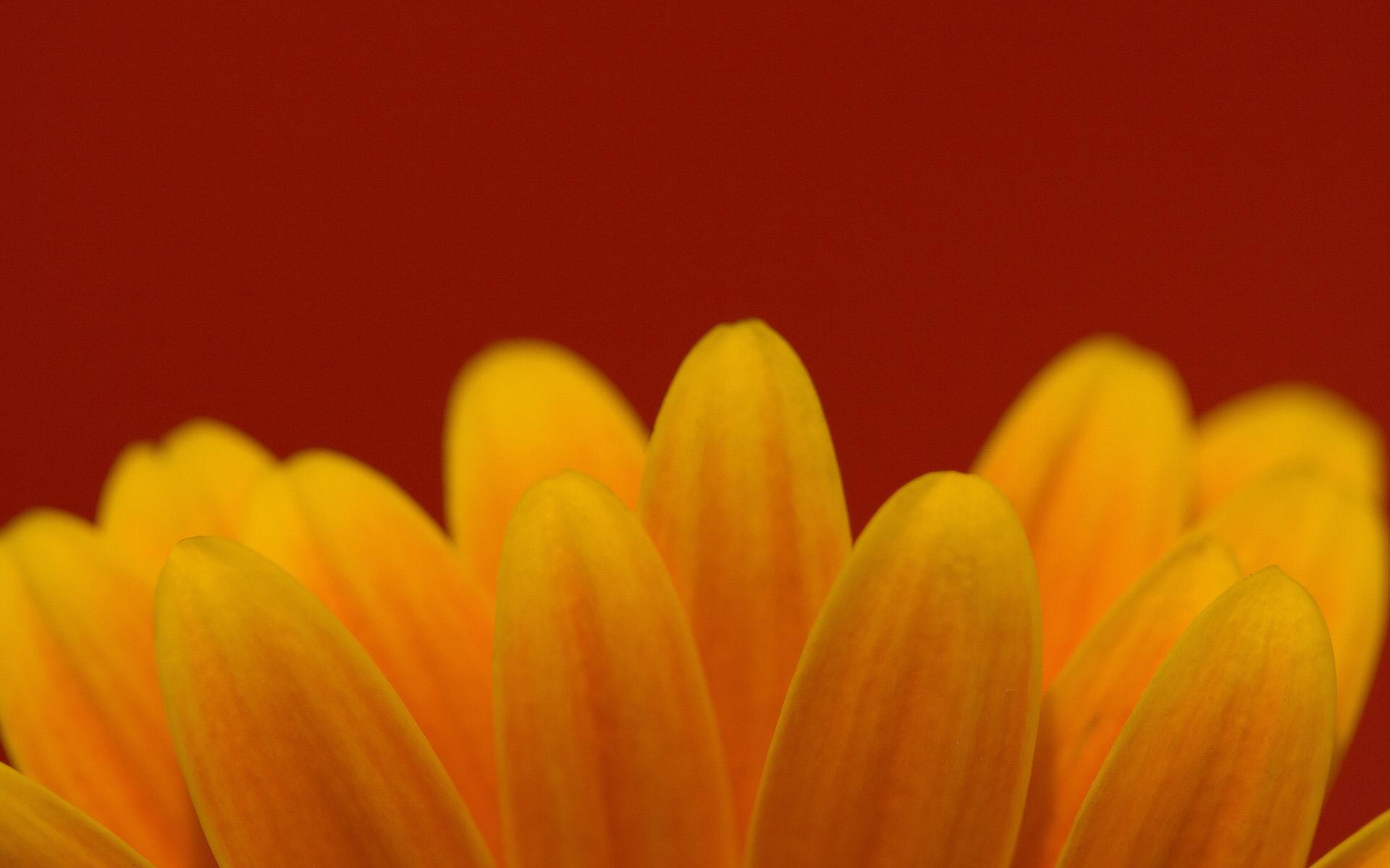 非洲菊花瓣高清壁纸