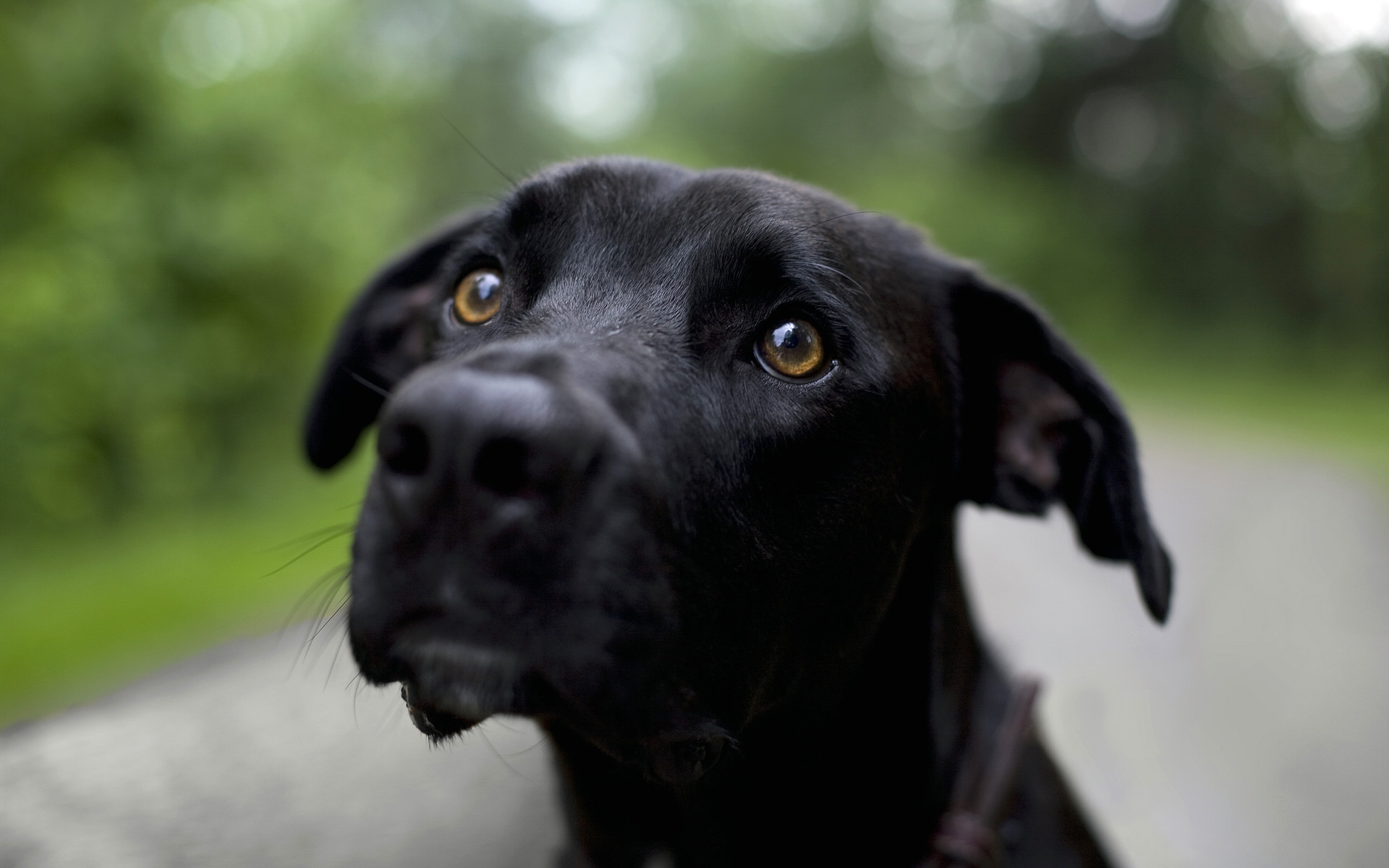 黑色狗高清壁纸