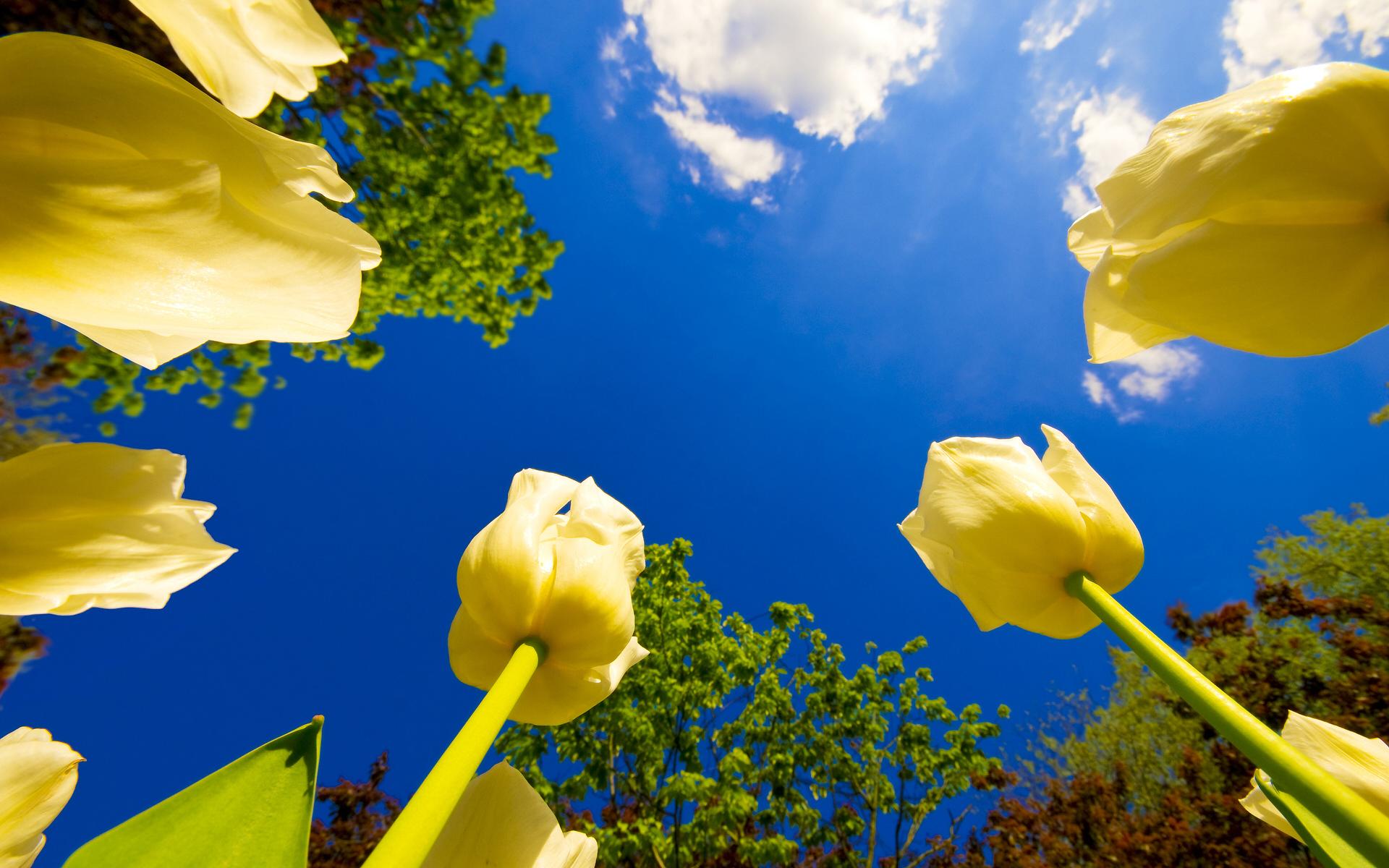 春意盎然的郁金香高清壁纸