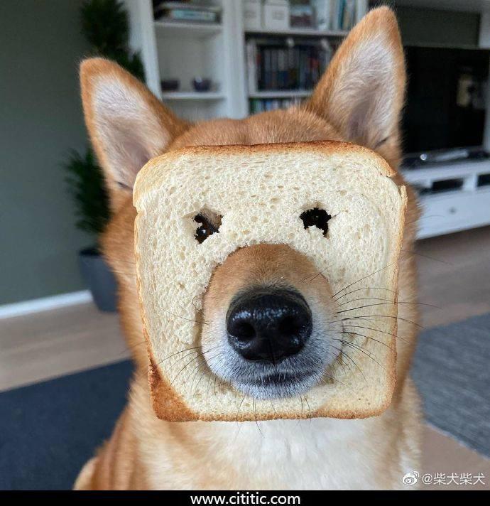 面包狗表情图片