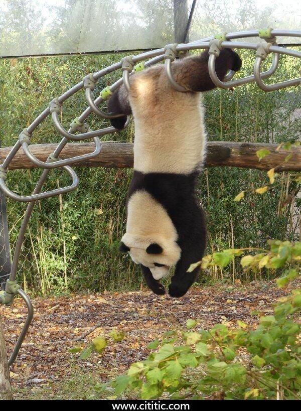 熊猫倒挂搞笑表情图片