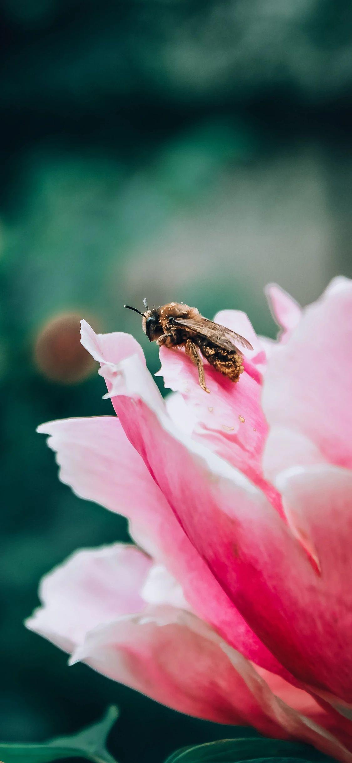 手机壁纸:蜜蜂、瓢虫、花插图1
