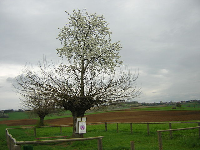 Cherry tree growing on a mulberry tree
