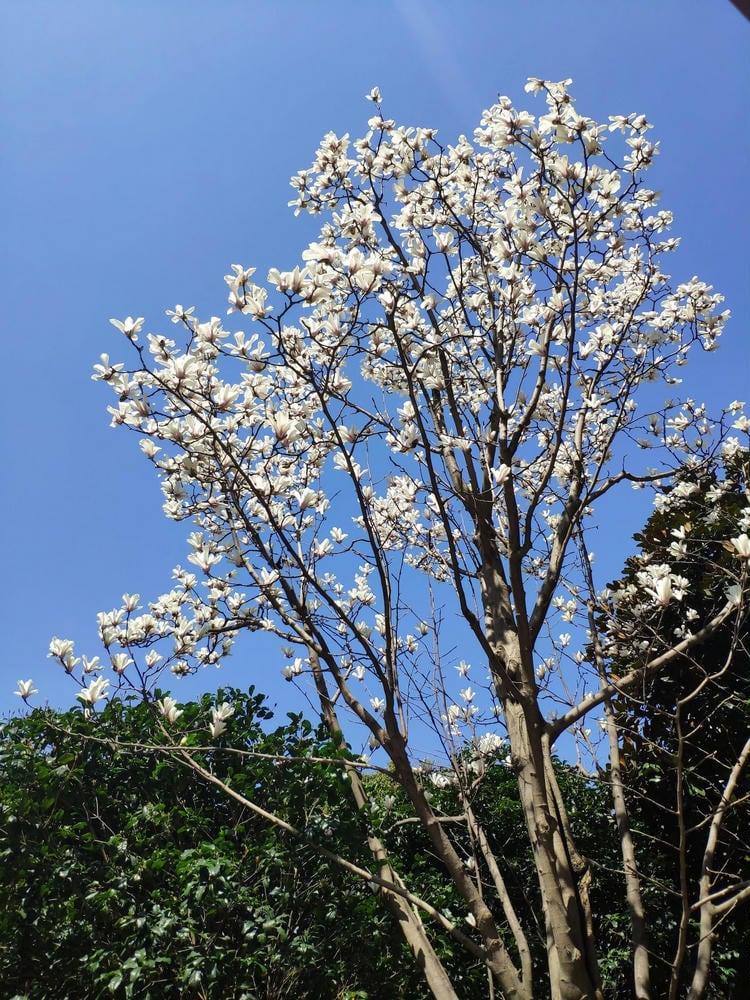 公司门口的树开花了