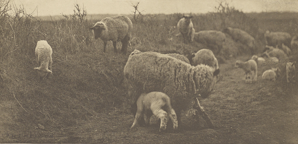 Sheep in a pastoral setting
