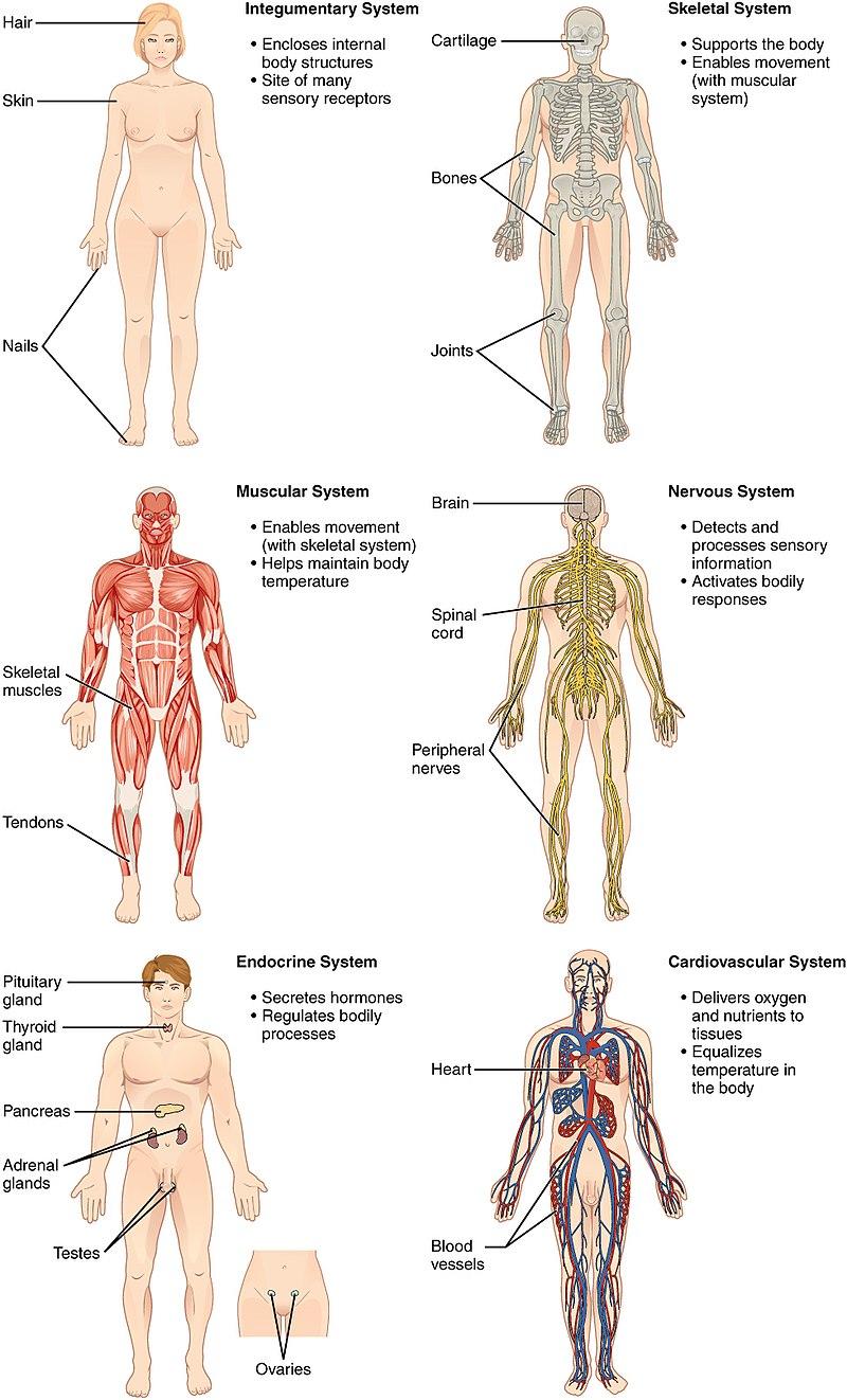organ-systems-1.jpg