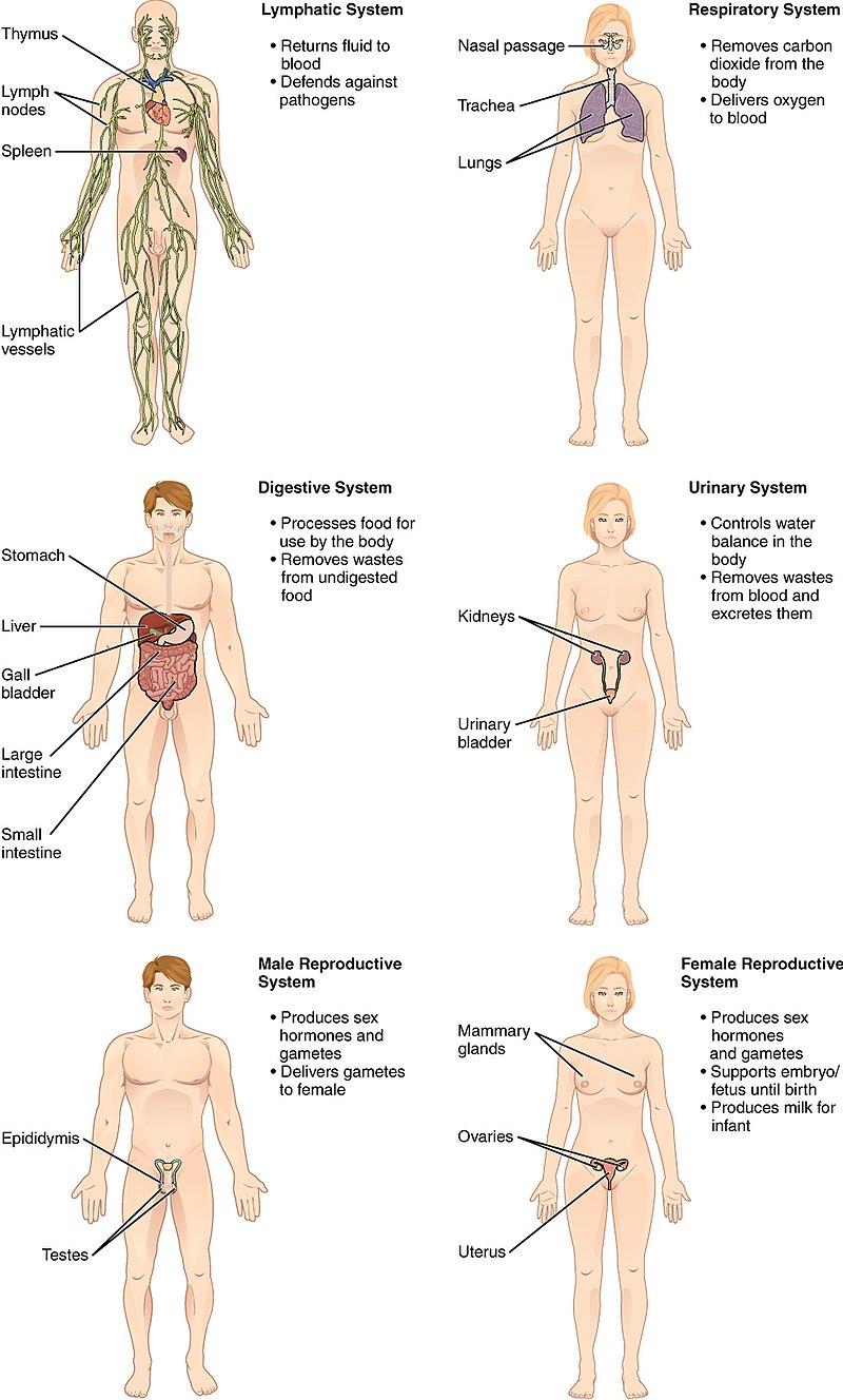 organ-systems-2.jpg