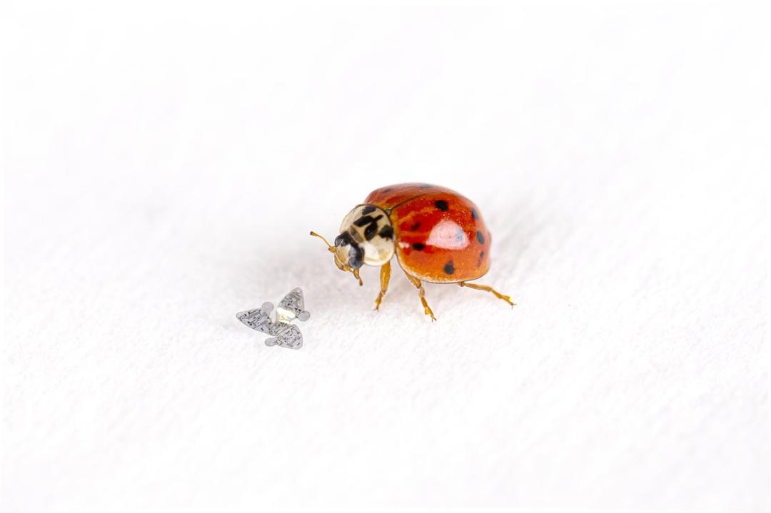 图   与瓢虫对比下的 3D 微型飞行器(来源:美国西北大学)