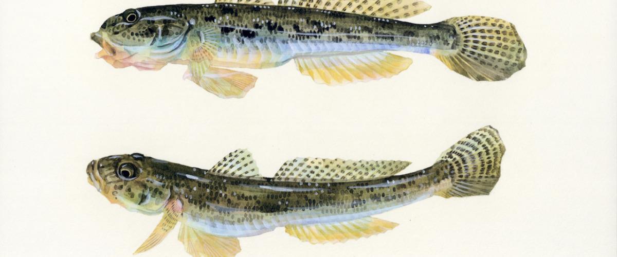 原生鱼之美——吻虾虎鱼